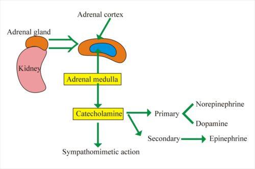 Catecholamine là gì
